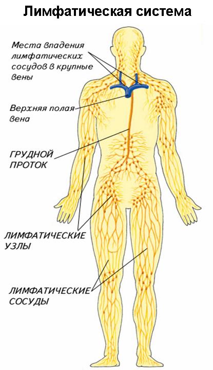 Лимфатическая система человека строение и функции