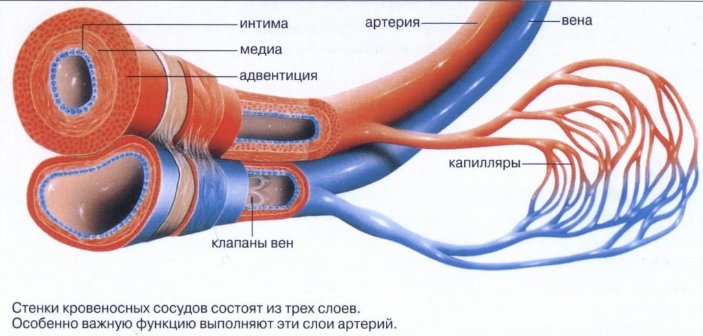 Органы кровеносной системы строение и функции