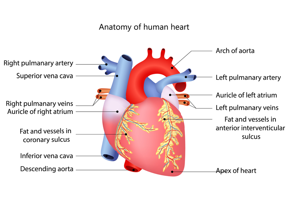 Строение и функции сердца человека
