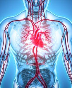 Циркуляторная система человека: кровеносная и лимфатическая системы, функции, строение, заболевания